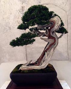 Cool Juniper, photo by Marco Tarozzo. #bonsai #japan