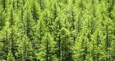 Parta la tos y la bronquitis, hojas de pino
