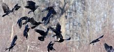 Crows Cope With Family Values, City Living, and West Nile Virus ...