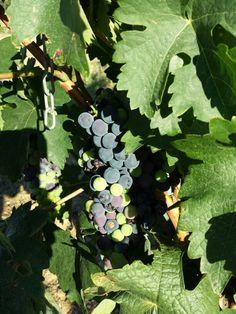 July 20, 2014. Extremadura. Spain. The grapes are this big. Las uvas estan bastante grandes.