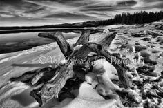 b/w drift wood