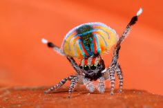 The Peacock Dance Spider
