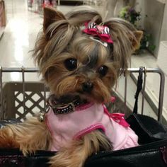 Yorkies, Yorkie Puppy, Cute Dogs And Puppies, Baby Puppies, Baby Dogs, Yorkie Terrier, Really Cute Puppies, Teacup Yorkie, Yorkshire Terrier Puppies