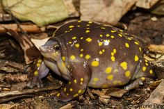Hemisus guttatus. Spotted Shovel Nosed Frog by Tyrone Ping