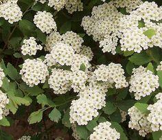 Spiraea vanhouttei wordt in het Nederlands ook wel spierstruik genoemd. Het is…