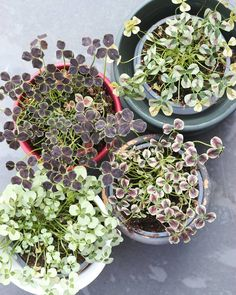 @plantenfestijn #oxalis