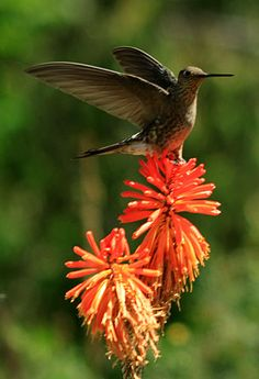 giant hummingbird patagona gigas
