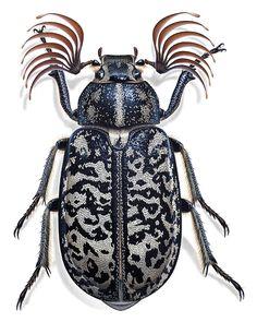 polyphylla fullo | käfer und andere kerbtiere | by: bernard durin