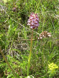 Wild Orchid  Between April and June on the road near Semproniano in Tuscan Maremma