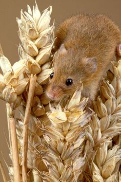 Harvest Mouse   ...........click here to find out more     http://googydog.com