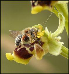 Insetto impollinatore Ophrys conradiae: Anthidium punctatum