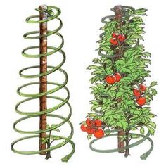 "Made in the USA: Tomatoes, beans, snow peas, flowering vines and other climbers will love clambering up these heavy-duty, flexible resin spirals. They provide the extra support needed to develop strong stems and branches, with no tying required. But their biggest benefit comes when the season is done: unlike bulky, cumbersome metal cages, these fold flat (12-1⁄4""OD) for storage, saving you a great deal of hassle and space. Last several seasons with little or no maintenance. - $8.95 each"