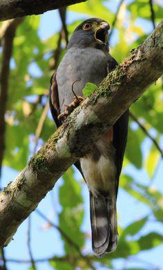 Rufous-thighed Kite (Harpagus diodon) Bird calling and with a prey. Locality Teresópolis, Rio de Janeiro State, Brazil SergioPorto