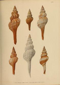 T.2-3 - Japanische Meeres-Conchylien. - Biodiversity Heritage Library