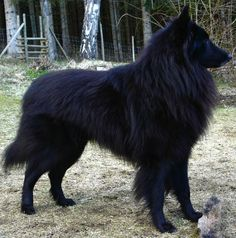 Groenendael with a PERFECT coat! I love his thick mane like fur, so gorgeous.