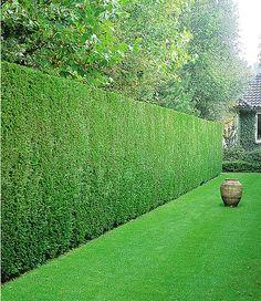 Leyland-Zypressenhecke Source by markuskrtzer Hedges Landscaping, Garden Hedges, Modern Landscaping, Outdoor Landscaping, Outdoor Gardens, Laurel Hedge, Exterior, Garden Landscape Design, Garden Inspiration