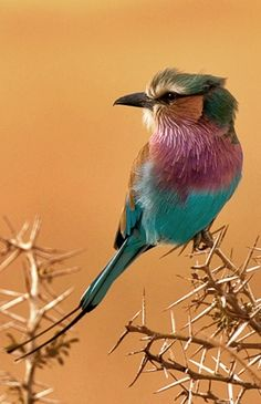 """Thorn sitter. Yikes! Careful birdy!   ( I have it on good authority that this little guy is a """"Lilac-breasted roller"""". Thanks to contributor!"""")."""