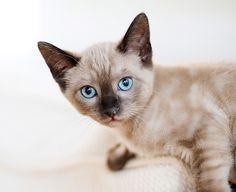 Cinnamon's siamese kitten