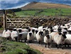 Sheep, more sheep, sheep