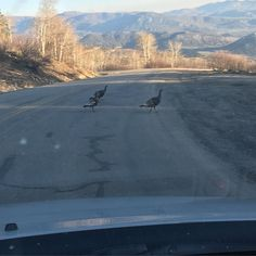 Busy commute down the hill today. Look at these turkeys jaywalking. #bellyacheridge #mountainliving #wildturkeys