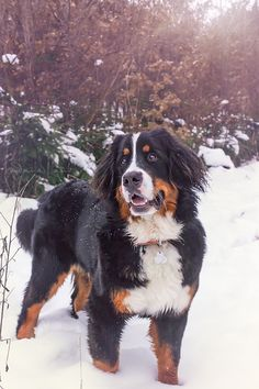 Berner Sennenhund Bernese Mountaun Dog
