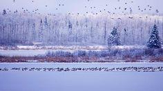 Bing Image Archive: Canada geese fly though Elk Island National Park, Alberta, Canada (© Paul Horsley/Corbis)(Bing Canada)