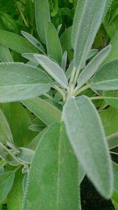 Kraut, Natural Cures, Planer, Aloe, Lemonade, Herbalism, The Cure, Plant Leaves, Food And Drink