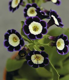 How To Grow Alluring Auricula Primroses