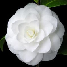 Rare Flowers, Unique Flowers, Exotic Flowers, Amazing Flowers, Beautiful Roses, White Flowers, Beautiful Flowers, Camellia Plant, White Camellia