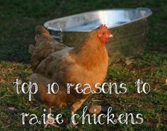 Top 10 Reasons to Raise Chickens - Green Eggs And Goats Blog - GRIT Magazine
