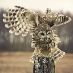 Ruffling Owl