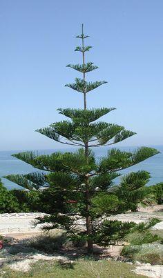 ARAUCARIA..Known as a Hoop Pine in Australia