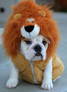 Arrrrrrrrr, I'm sooo fur-ocious! :) #costume #bulldog #dog #puppy #pets #animals #cute