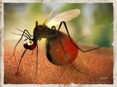 Someone looks a little full! #mosquito #bug #graphic
