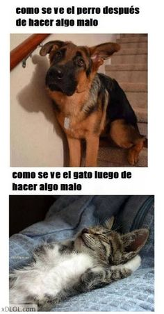 Regaño: estilo perros y gatos || How dogs & cats behave after doing something bad.