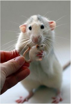 I miss having pet rats. They are so smart & sweet! They make such awesome pets. Animals Images, Animals And Pets, Animal Pictures, Baby Animals, Funny Animals, Cute Animals, Felt Animals, Rata Dumbo, Beautiful Creatures
