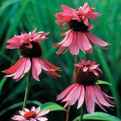 Double Decker Coneflower. Whimsical double layers of pink petals add excitement to the traditional cone flower.
