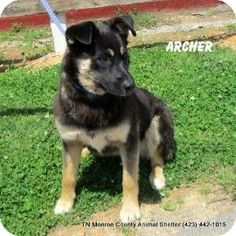 Gone  Very High Kill shelter  dogs don't have much of a chance  here  Rural not many odoptions Please this BABY  Madisonville, TN - Shepherd (Unknown Type) Mix. Meet Archer a Dog for Adoption.