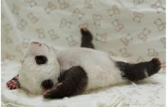 Updated Gallery: Baby book of panda cub's first days