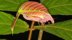 El saltamontes rosa, experto en camuflaje