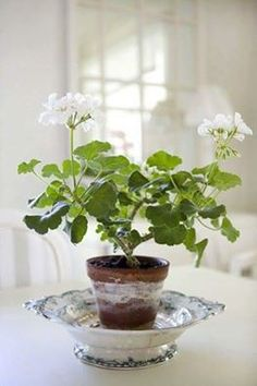 The Geranium - the ultimate cottage style plant