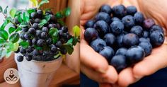 How to grow an unlimited amount of blueberries in your backyard : The Hearty Soul