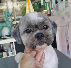 -repinned- Cute short Shih Tzu clip #DogsGrooming