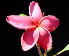 plumeria acuminata