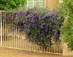 Lilac Vine for a Purple Profusion in Winter Grow this pretty, hardy vine on a fence or as a ground cover for blooms throughout the colder m...