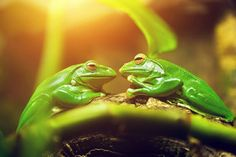 Two green frogs sitting on leaf