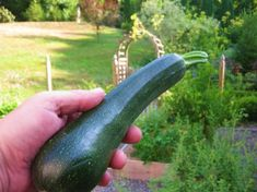 I have a bunch of zucchini coming in. I may have to learn to freeze it. Here's a way to do it by shredding it first.