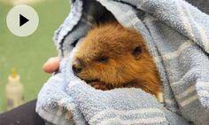 ¡Este bebé castor tomando un baño te hará día!