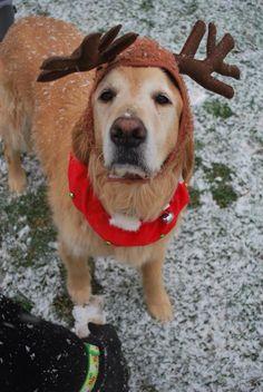 Golden retriever reindeer !