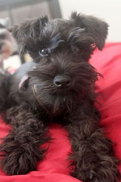 Ranked as one of the most popular dog breeds in the world, the Miniature Schnauzer is a cute little square faced furry coat. Schnauzers, Miniature Schnauzer Puppies, Schnauzer Puppy, Schnauzer Grooming, Puppy Grooming, Cute Puppies, Cute Dogs, Dogs And Puppies, Doggies